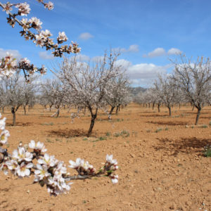 Almond blossoms at La Sultana