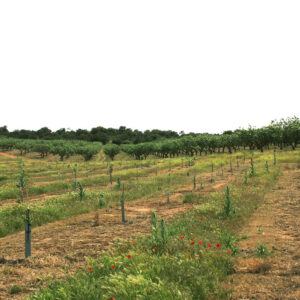 New organic plantation in Loma Pajarera